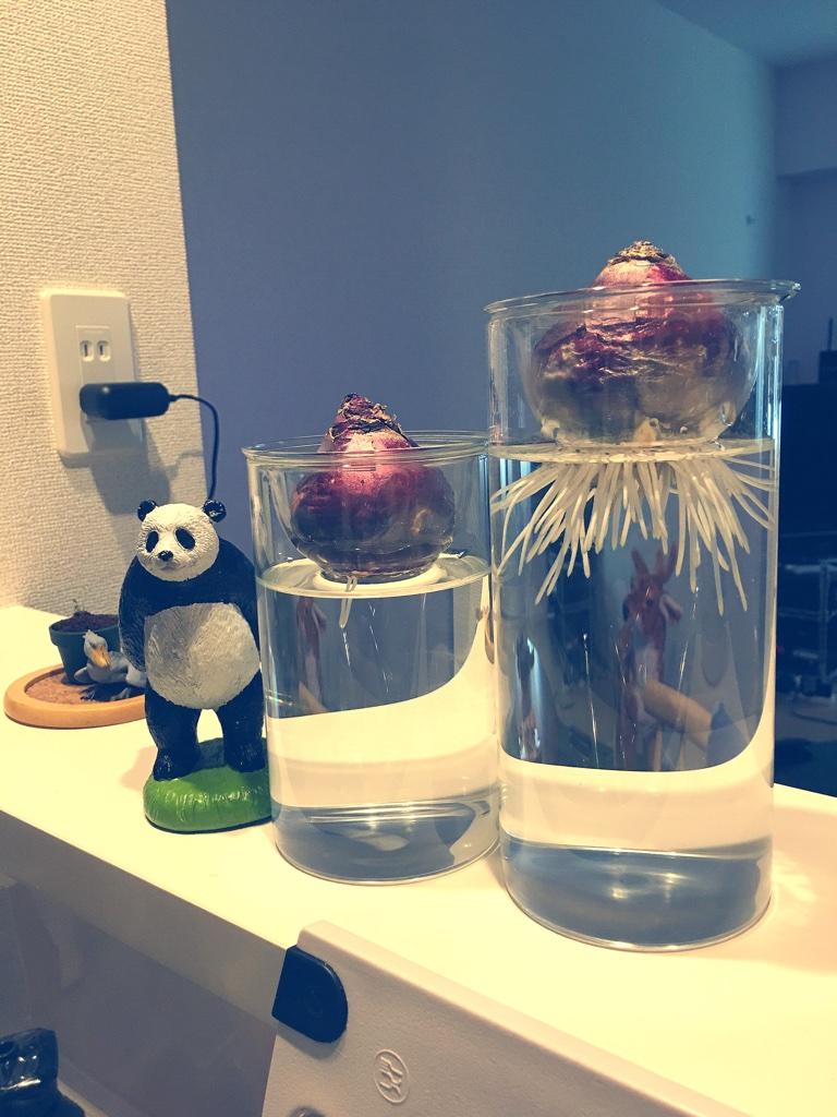 ヒヤシンス水栽培 Part 3