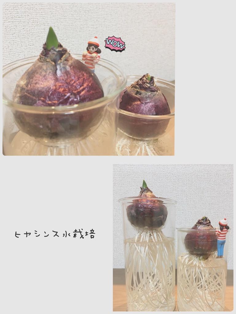 ヒヤシンス水栽培 PART 9