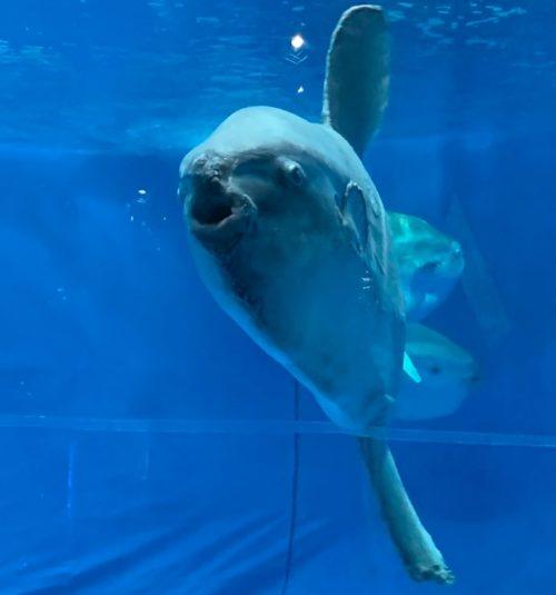 アクアワールド茨城県大洗水族館のマンボウの画像